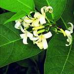 bengal wild flower