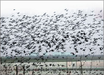 Migratory birds fluttering their wings in Hakaluki Haor.