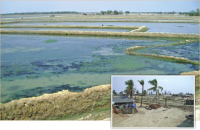 Shrimp production resumes in the Aila-hit area of Shyamnagar in Satkhira. Many farmers are against the return of shrimp cultivation as it has already affected the fertility of the land. Inset, even grass does not grow on the saline-affected land of Gabura union in Satkhira.